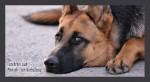 bb_lesekreis_schaeferhund